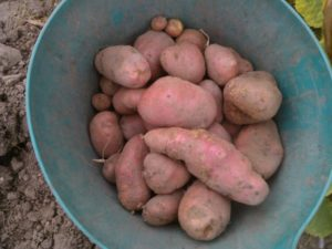 Growing Spuds