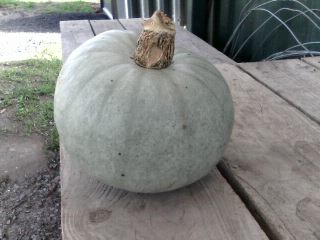 growing squashes