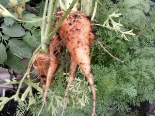 The Best Way To Grow Carrots