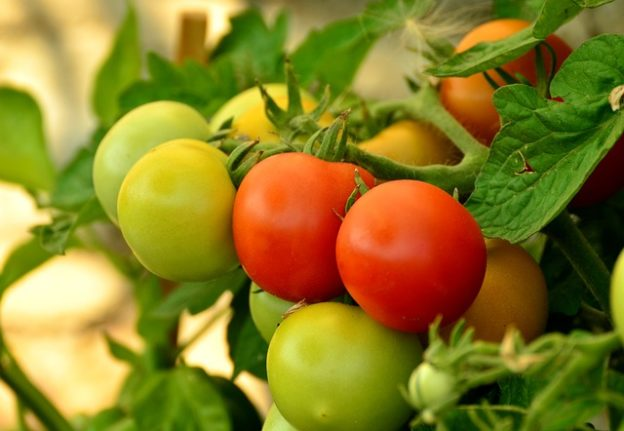 DO Tomatoes Plants Benefit From Garden Lime and Epsom Salts