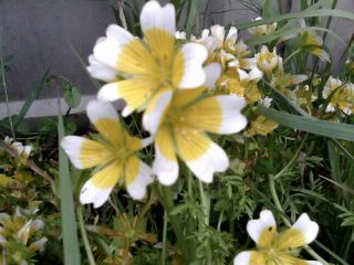 Poached Egg Plant Companion Plant