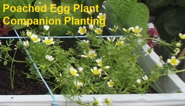 Poached Egg Plant Companion Planting