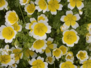 how to grow poached egg plants