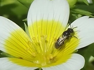 poached egg plant hover fly