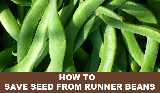 how to save seed from runner beans