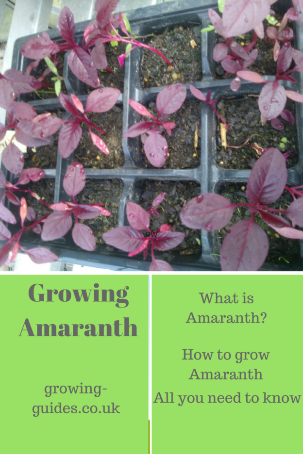 Growing Amaranth