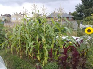 how to grow sweetcorn in the uk