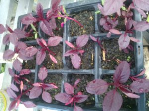 growing amaranth from seed