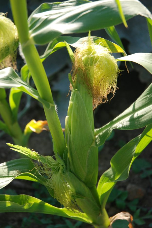 the easiest way to grow sweetcorn in the uk
