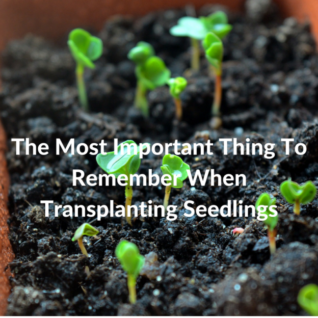 The Most Important Thing To Remember When Transplanting Seedlings