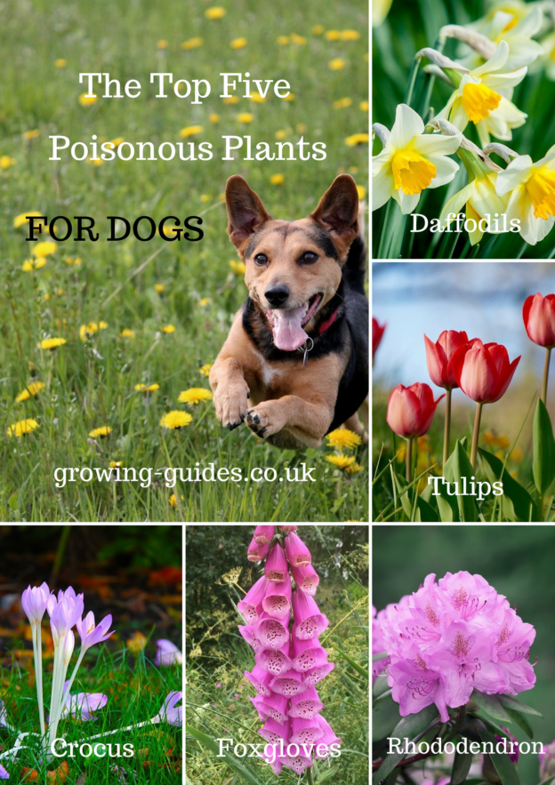 the top five poisonous plants for dogs