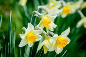 the top five poisonous plants for dogs - daffodils