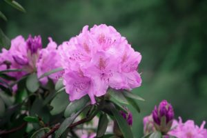 the top five poisonous plants for dogs-rhododendrons