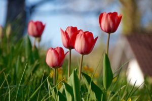 the top five poisonous plants for dogs-tulips