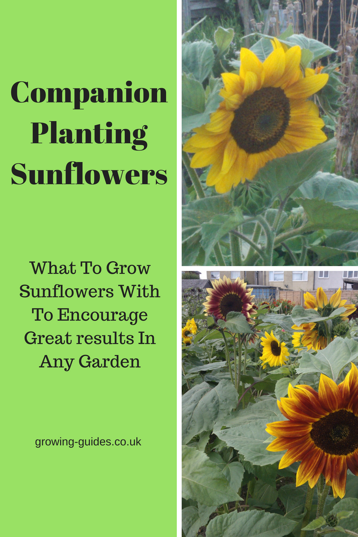 Companion Planting Sunflowers Growing Guides