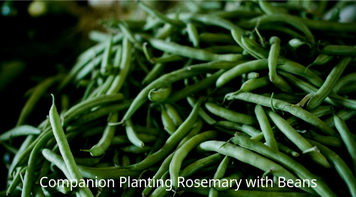 how to grow rosemary in florida
