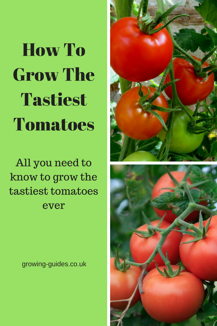 how to grow the tastiest tomatoes growing guides. Black Bedroom Furniture Sets. Home Design Ideas
