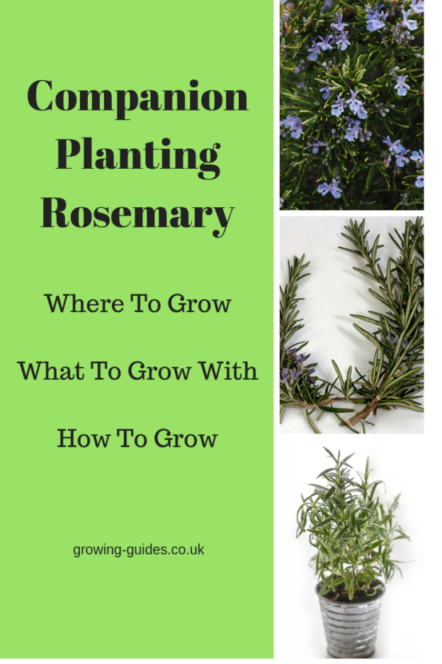 Companion Planting With Zucchini: Companion Planting Rosemary