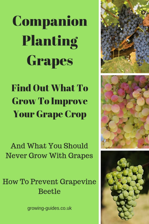 Companion Planting Grapes Growing Guides