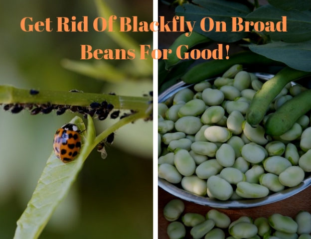 Get Rid Of Blackfly On Broad Beans For Good 624x480 - How To Get Rid Of Blackfly On Runner Beans